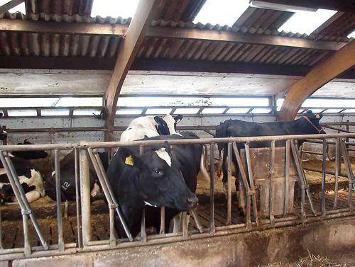 Stalverlichting koeienstal Blockerhoeck - LedsGoGreener